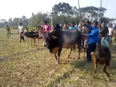 media bangladesh bull fighting 2013