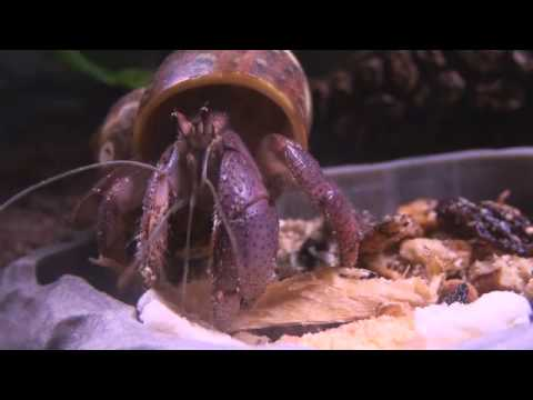 Hermit Crab Eating