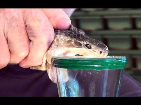 milking deadly venomous snakes - Reptile World Florida - YouTube