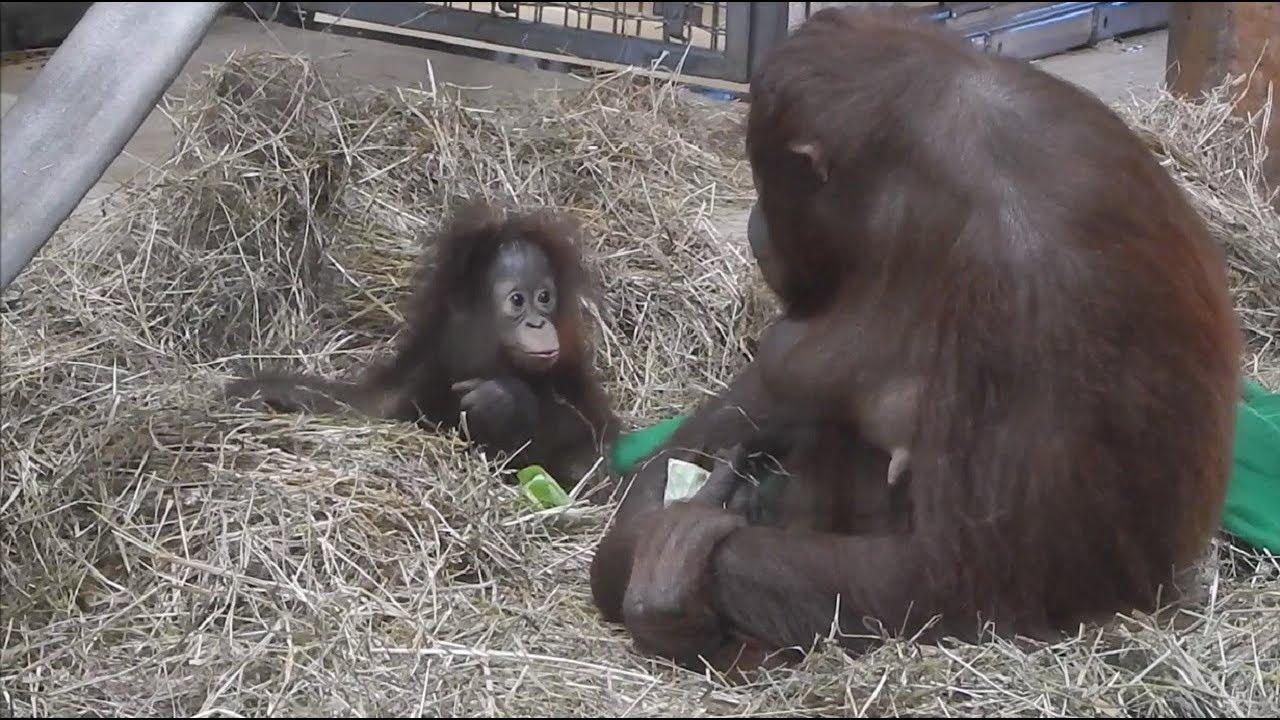 Orangutan baby shocked