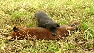 Fox hunting with terriers | Fox digging and predator control - Ultimate Hunting