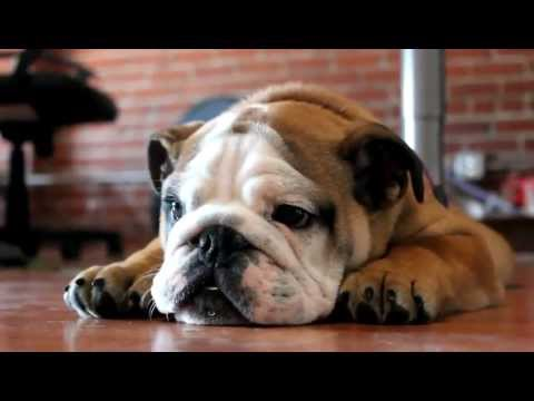 Sad English Bulldog puppy - YouTube