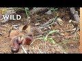 Camel Spider Captures, Kills Millipede at 'Warp Speed'   Nat Geo Wild