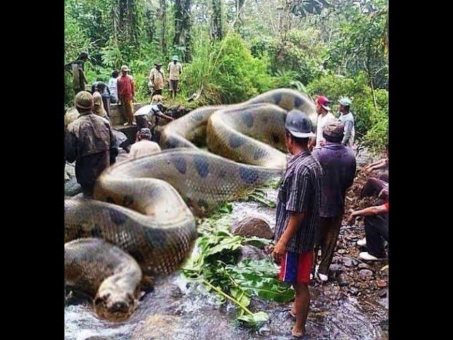WORLD  BIGGEST SNAKE ANACONDA FOUND IN AMERICA'S AMAZON RIVER