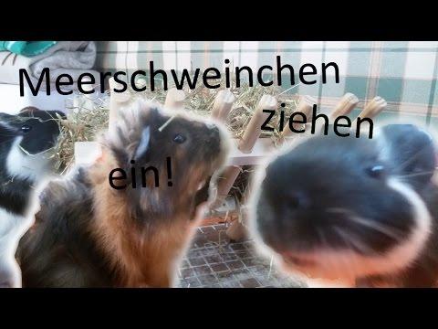 Meerschweinchen ziehen ein!