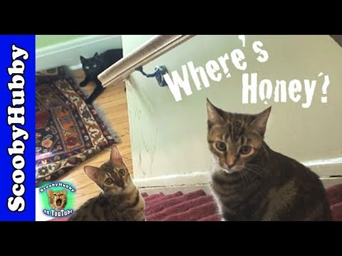 Cat Clips #89--Where's Honey? Video
