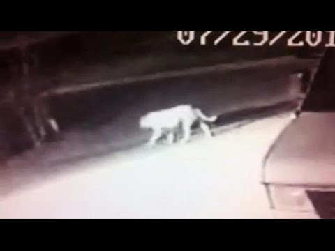 Caught on Tape: Is an African Lion Roaming Streets of California?