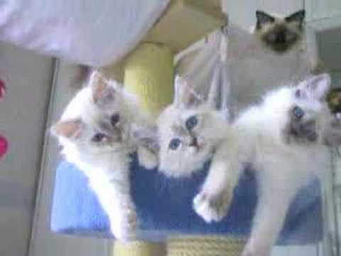 Cat-toons little girls playing - birman cats Video