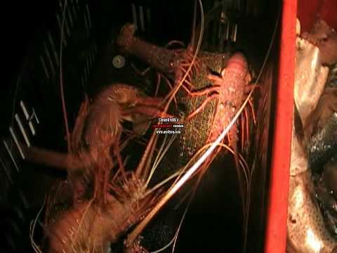 crayfishing Western Australia post puerulus experiment