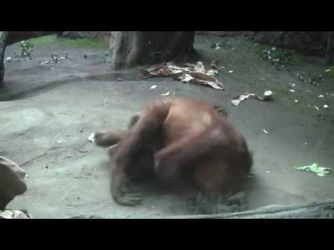 Zoo Leipzig - Orang Utans - Schleckermäulchen2