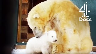 Birth of Britain's First Baby Polar Bear in 25 Years!