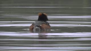 Slavonian Grebe, preening in slow motion...
