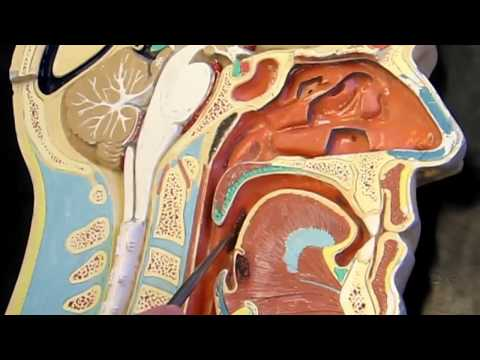 Lab #7 Respiratory Anatomy & Physiology