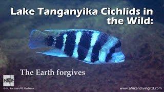 Lake Tanganyika cichlids in the wild: The Earth forgives