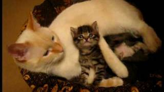white bengal kittens for sale wisconsin