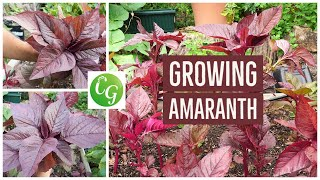 Download Lagu How To Grow Red Amaranth - A Nutrition Powerhouse Superfood - Amaranthus Gratis STAFABAND