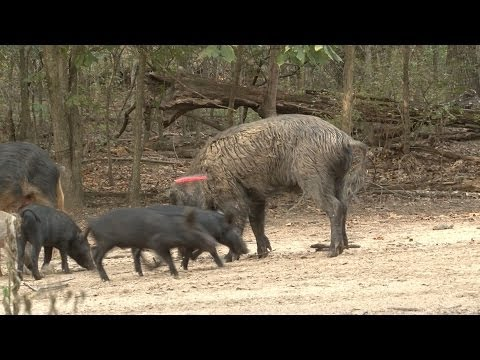 Cntv-shiloh Ranch Boar Hunt, Part 1 video