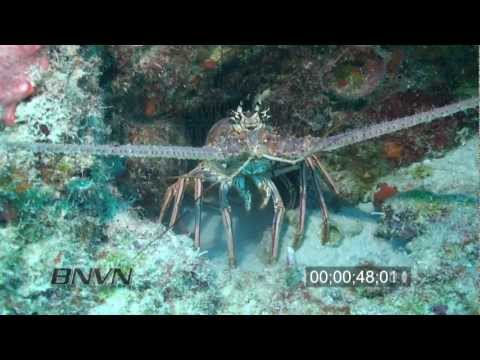 7/17/2010 HD Lobster On Reef B-Roll Footage