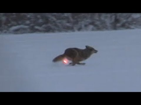 AR 15 Lights Up Coyote And The Hunter Becomes The Hunted