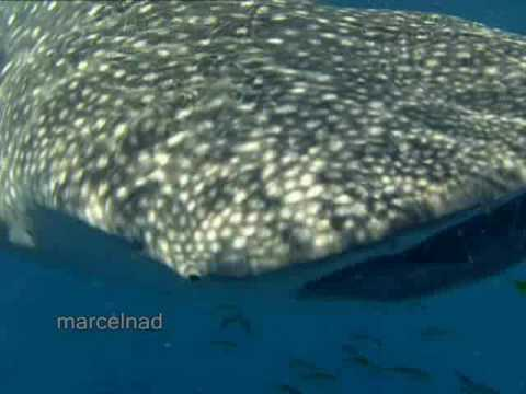 Dive With Whale Shark - the world's largest fish.