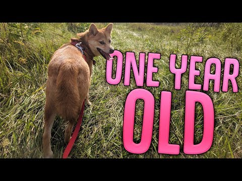 My Shiba Inu Puppy Turned 1 Year Old - Barkbox Unboxing With Luna the Shiba Inu