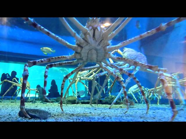 Japanese Spider Crab Eating a Person Japanese Spider Crabs