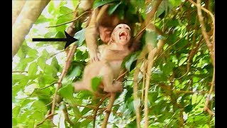 OMG!! A Little Monkey Bit Baby Lola On Long Tree Nearly Fall Down, Lola Cry Loudly