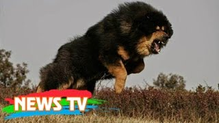 Bả chết sư tử cùng chó sói, đây chính là loài chó nguy hiểm và hung hãn nhất hành tinh