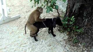 Monkey tries to have sex with dog