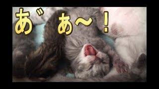 【猫好き】あ゛ぁ~!(スコティッシュフォールド)《funny cats》