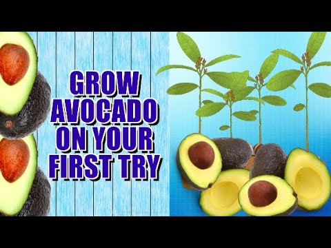 HOW TO GROW AVOCADO TREE FROM SEED.