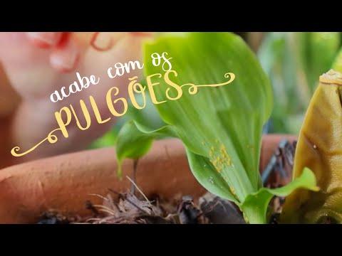 Como Cuidar de Orquídeas - Acabe com os pulgões
