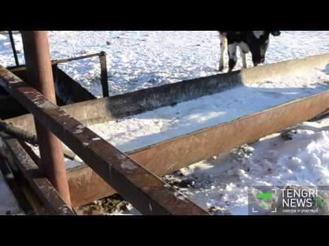 Казахстанский фермер снял на видео слив 30 тонн молока