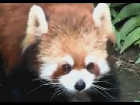 腹ぺこレッサーパンダ きんた夫婦の大冒険!?/野毛山動物園