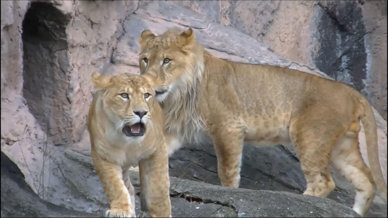 ライオンの画像 p1_13