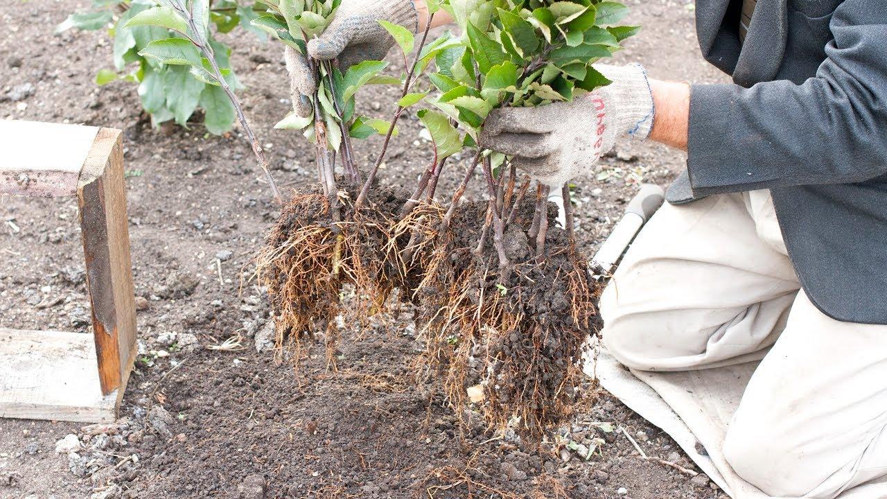 Размножение калины бульденеж черенками пошаговое фото для начинающих