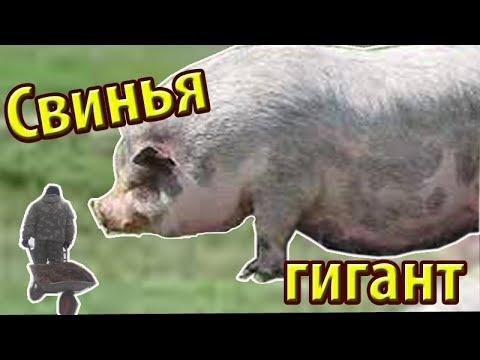 Огромная вьетнамская свинья возраст 2 года три месяца // Зауральское подворье