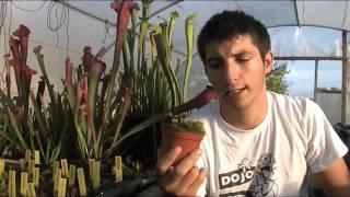 Carniplant-Plantas carnívoras- Cuidado y mantenimiento de Dionaea muscipula