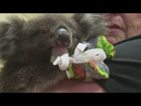 Koalas rescued from wildfires in Australia