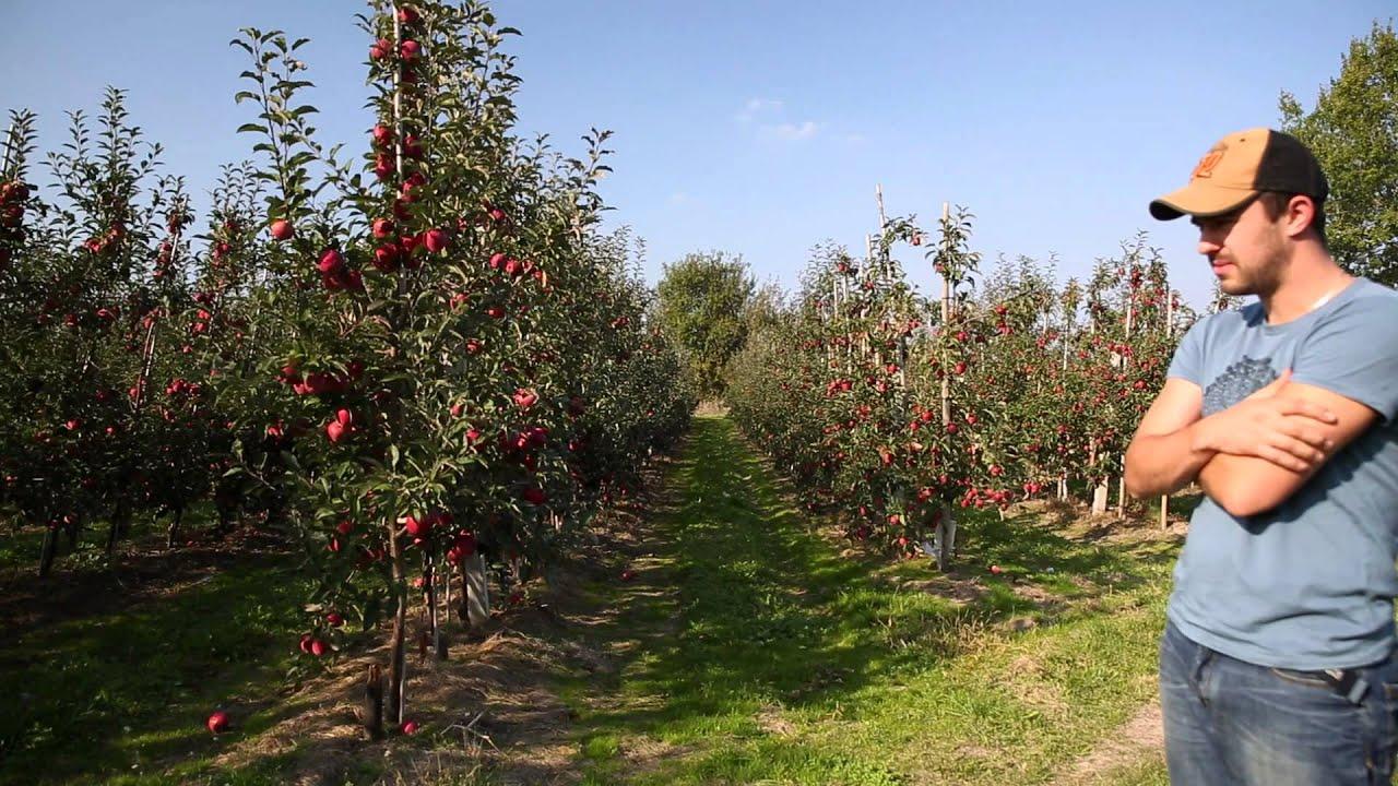 uprawa jabłek, jabłka odmiana gloster, forum sadownicze