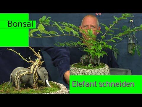 Bonsai Projekt Elefant in der Schale schneiden