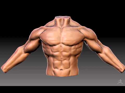 Male torso anatomy