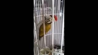 Burung Masteran Gacor Pelatuk Bawang