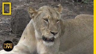 Safari Live - Day 272 | National Geographic