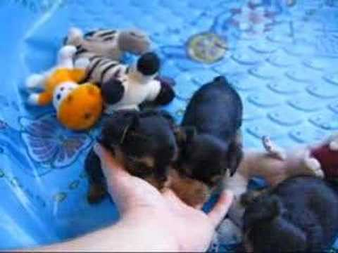 Yorkie puppies at 5 weeks - 8