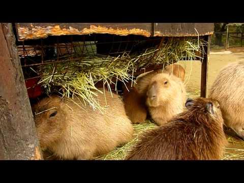 カピバラお母さんの「ここはちょっと狭いわね」 (capybara)