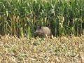Divočák při sečení kukuřice