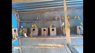 Ternak Lovebird Sistem Koloni Mantap