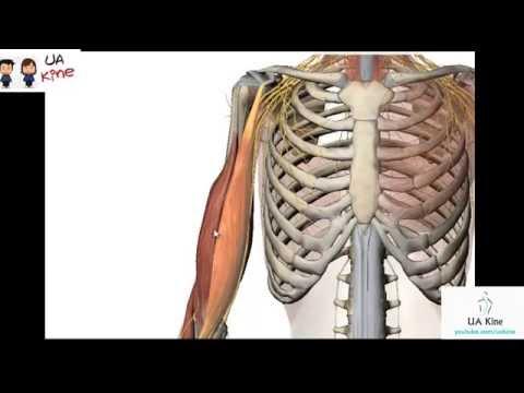 Anatomia Musculos Brazo - Origen, Inserción, Función, Inervación