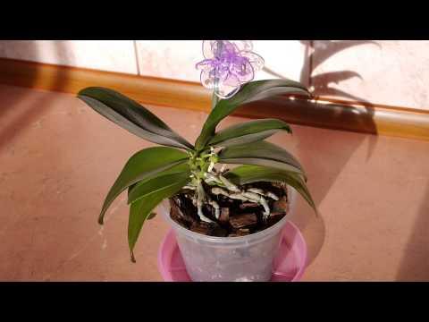 Сохнут бутоны у орхидеи
